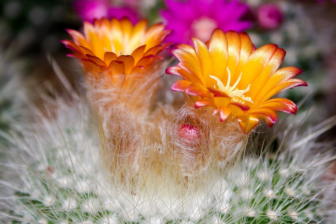 A Flor do Cactos é Efêmera, mas Belíssima….